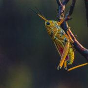Insecten eten krekel
