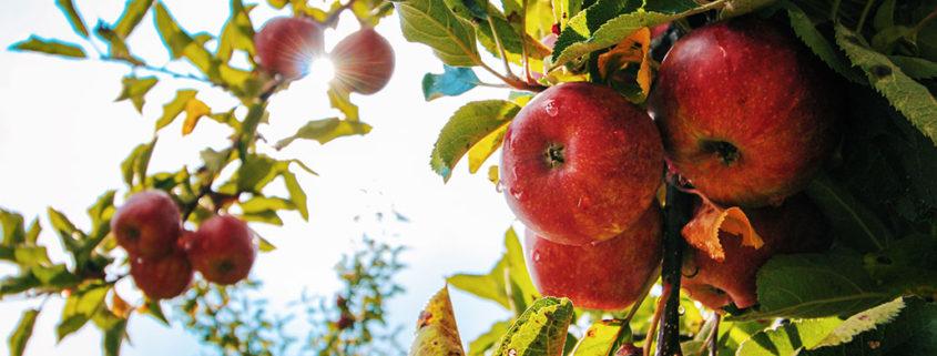 Gezondheidseffecten appel
